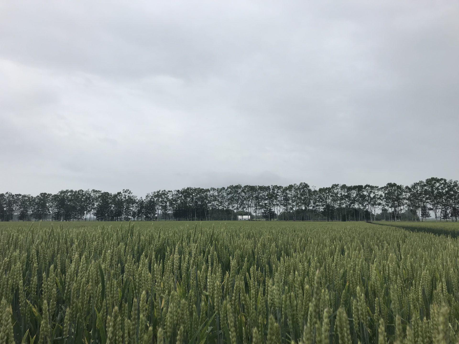 ゆたか小麦畑